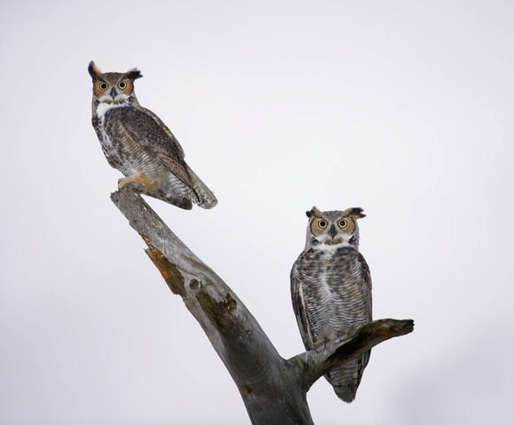 Great Horned Owls Branch Animal Wall Mural
