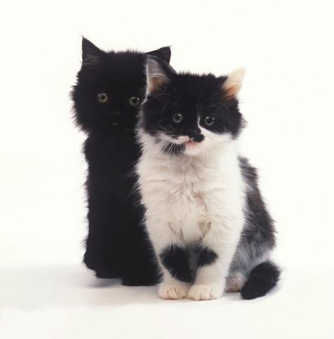 Black and White Kittens Animal Wall Mural - Animal-Wall-Stickers - Decall.ca