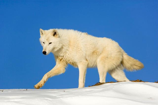 Arctic Wolf against Blue Animal Wall Mural - Animal-Wall-Murals - Decall.ca