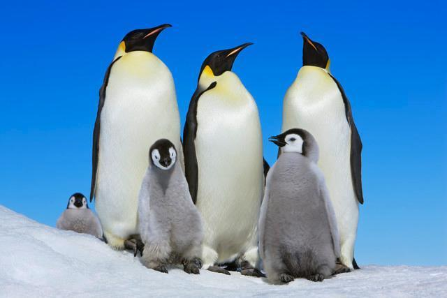 Emperor Penguin with Group Animal Wall Mural - Animal-Wall-Murals - Decall.ca