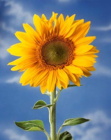 Sunflower against Blue Sky Flower Wall Mural