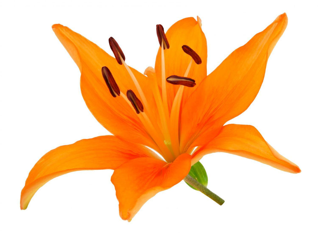 Orange Lily Flower Wall Mural Sticker