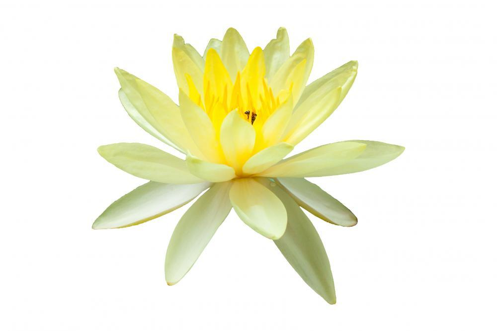 Yellow Water Lily Flower Wall Mural Sticker