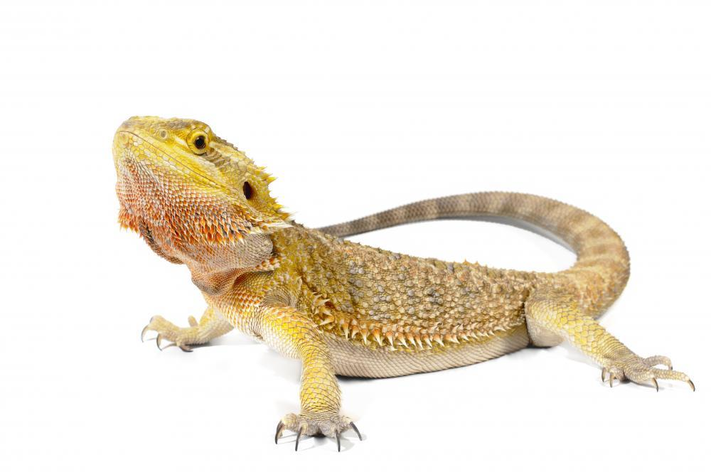 Bearded Dragon Animal Wall Mural - Animal-Wall-Stickers - Decall.ca