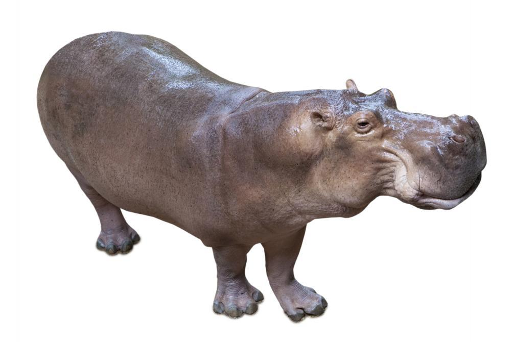 African Hippopotamus Animal Wall Mural - Animal-Wall-Stickers - Decall.ca