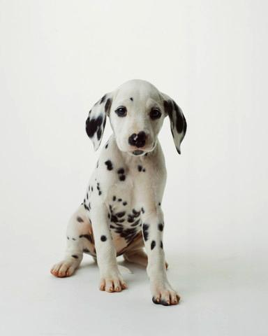 Dalmatian Puppy Animal Wall Mural - Animal-Wall-Stickers - Decall.ca