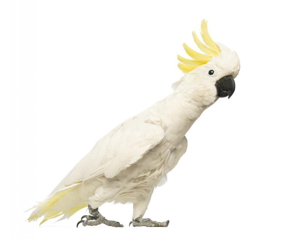 Sulphur-crested Cockatoo Cacatua Galerita Animal Wall Sticker