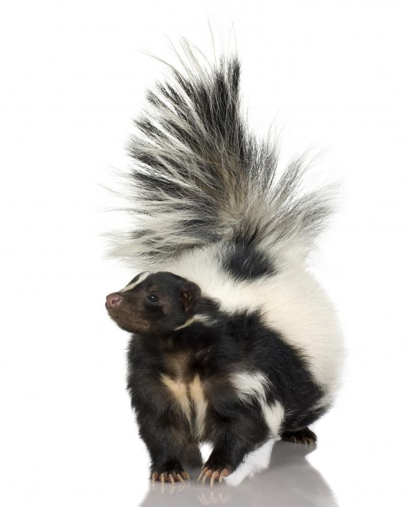 Striped Skunk Animal Wall Sticker