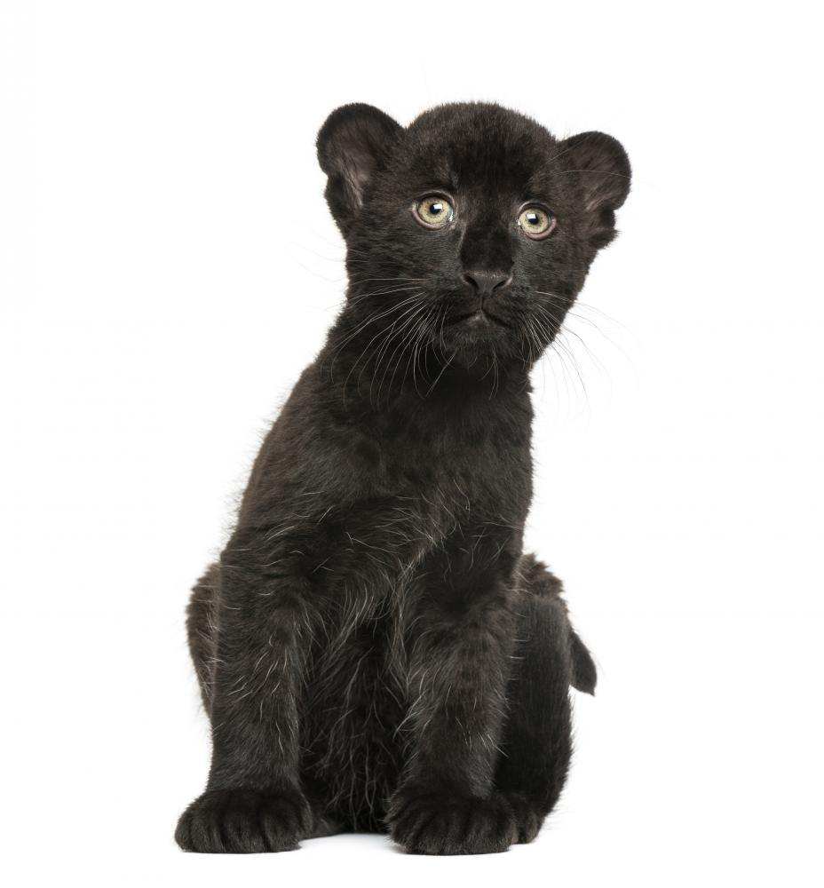 Black Leopard Cub Sitting Animal Wall Mural - Animal-Wall-Stickers - Decall.ca