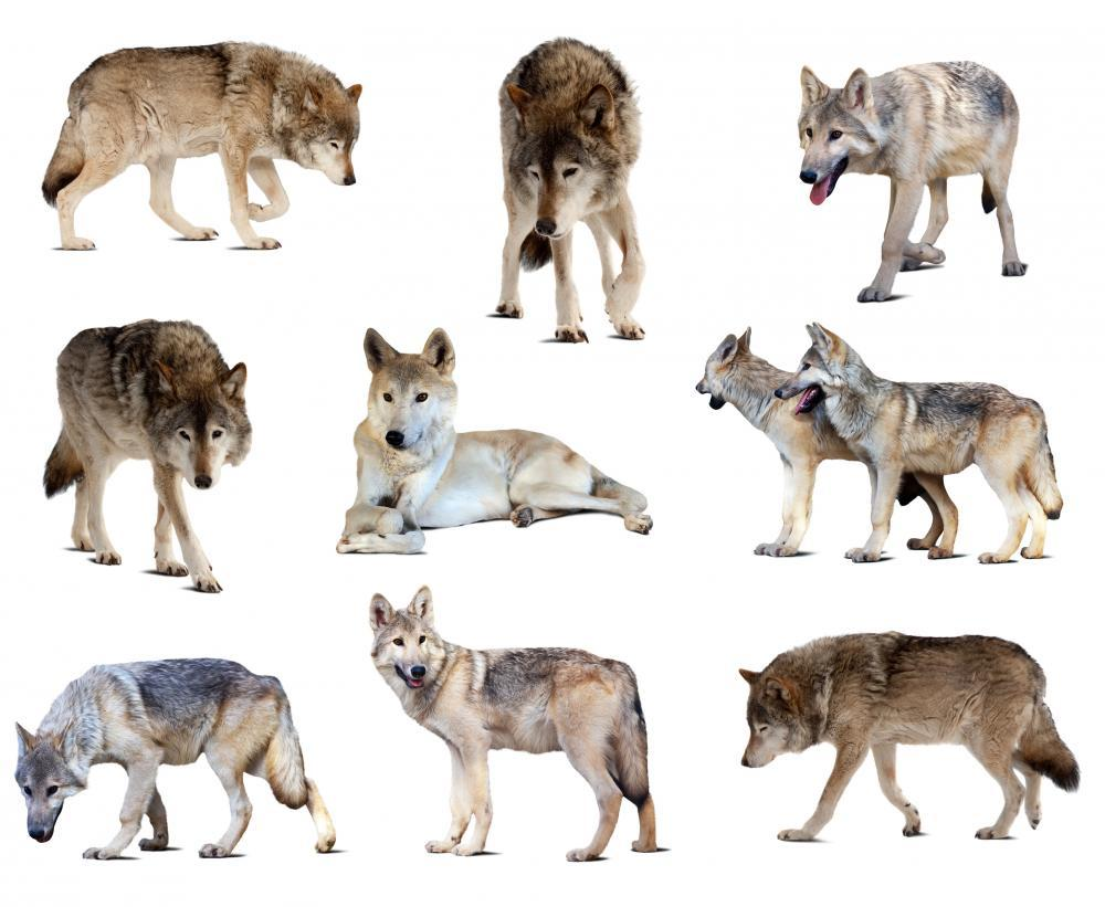 Gray Wolves Wall Sticker