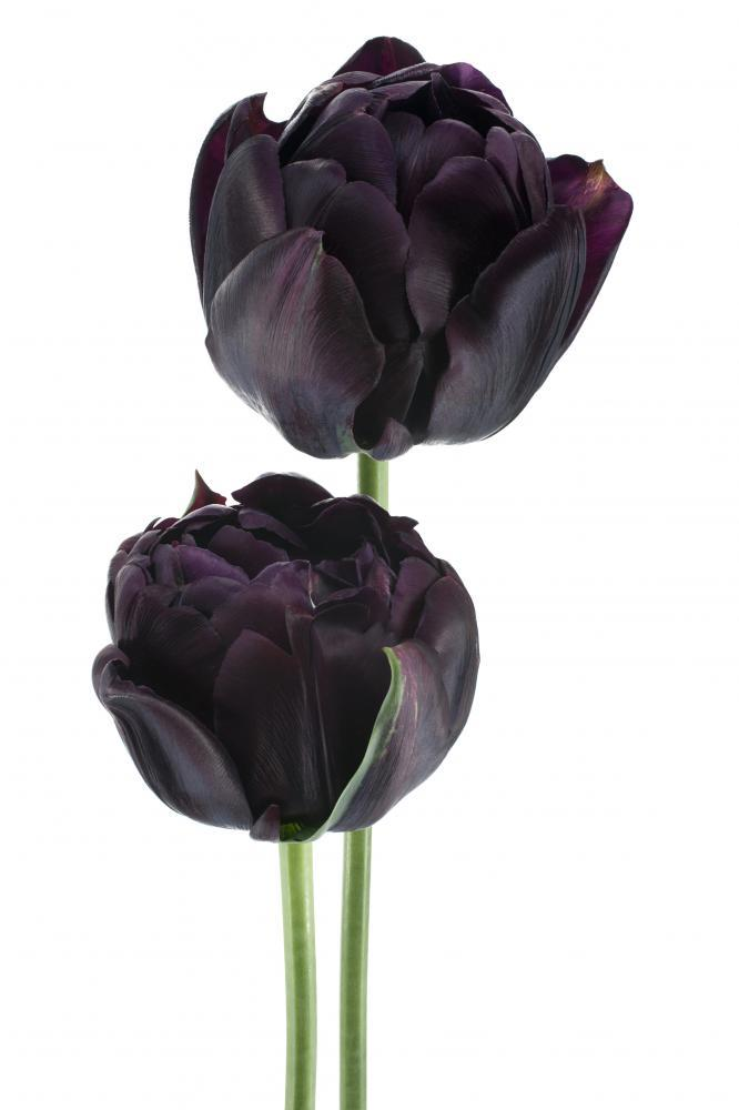 Black Tulip Flower Wall Mural Sticker - Flower-Wall-Stickers - Decall.ca