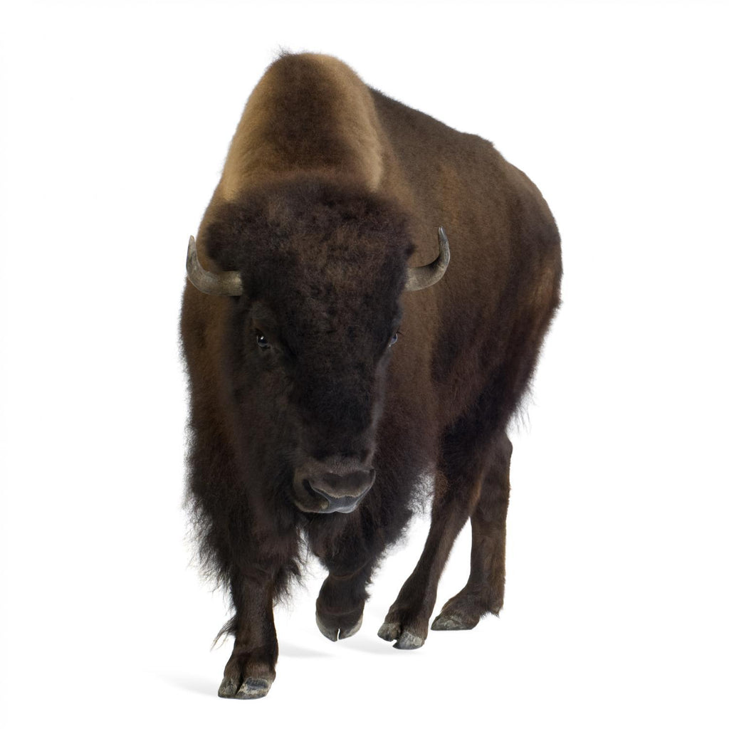 American Bison Animal Wall Mural - Animal-Wall-Stickers - Decall.ca