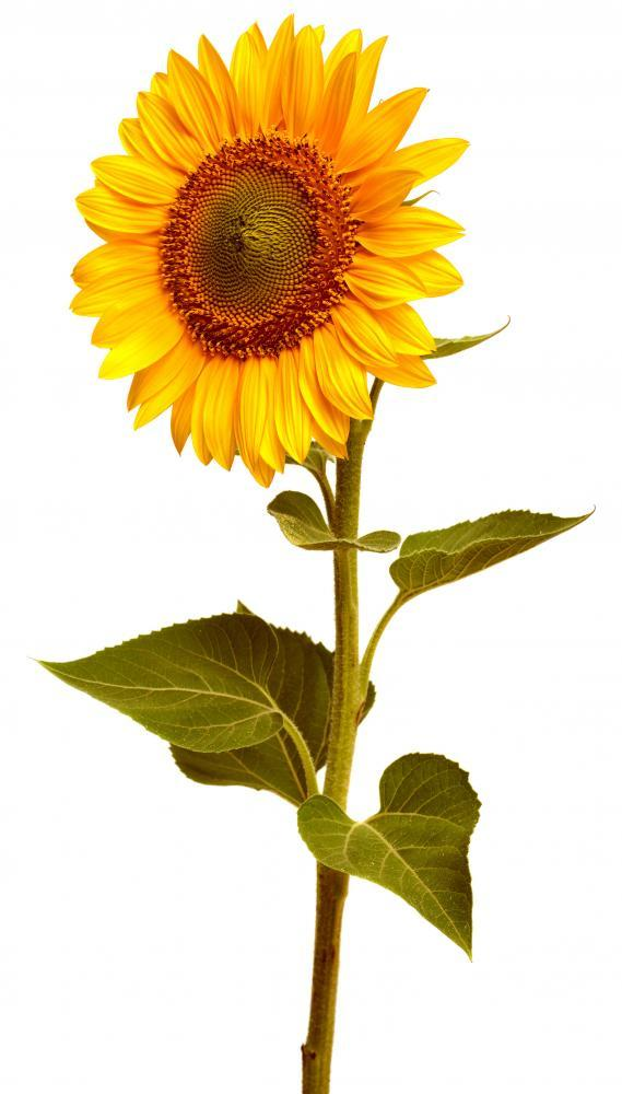 Sunflower Flower Wall Mural Sticker
