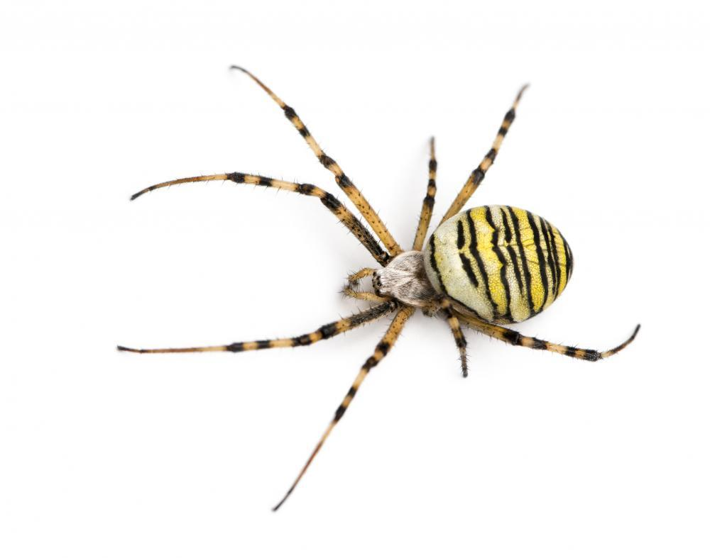 Wasp Spider Viewed from Animal Wall Sticker