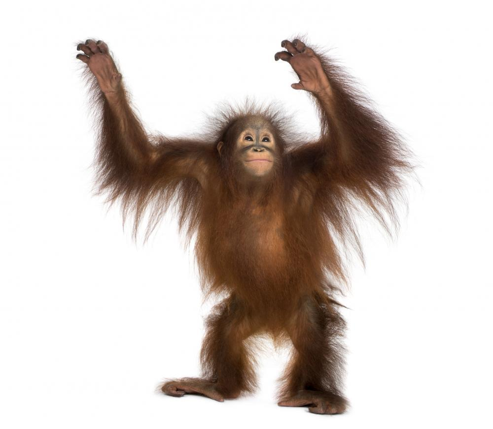 Young Bornean Orangutan Standing Animal Wall Sticker