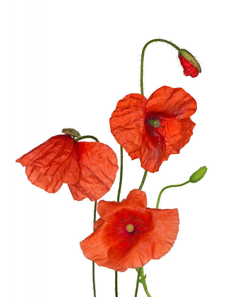 Bunch Wild Red Poppy Flower Wall Mural Sticker - Flower-Wall-Stickers - Decall.ca