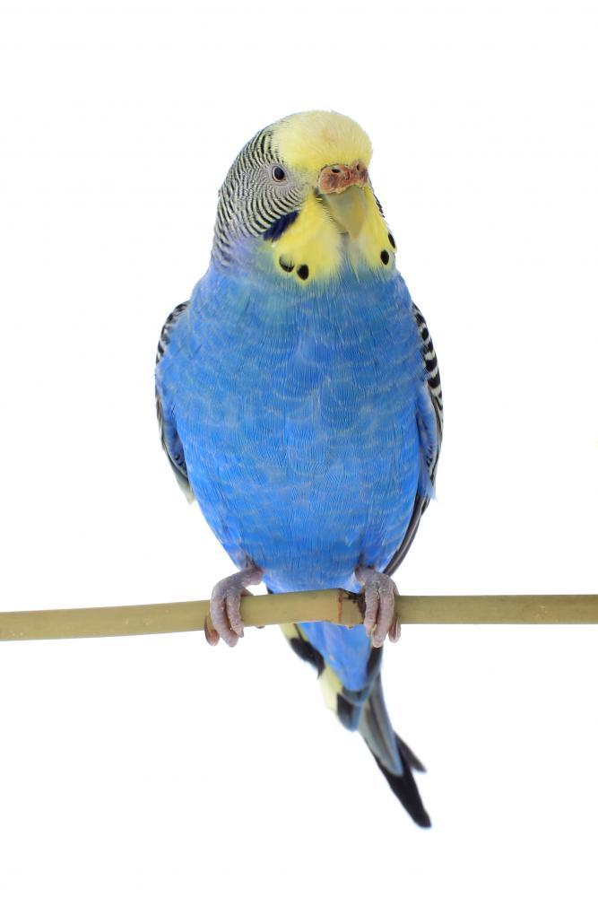 Budgie Wall Mural - Animal-Wall-Stickers - Decall.ca