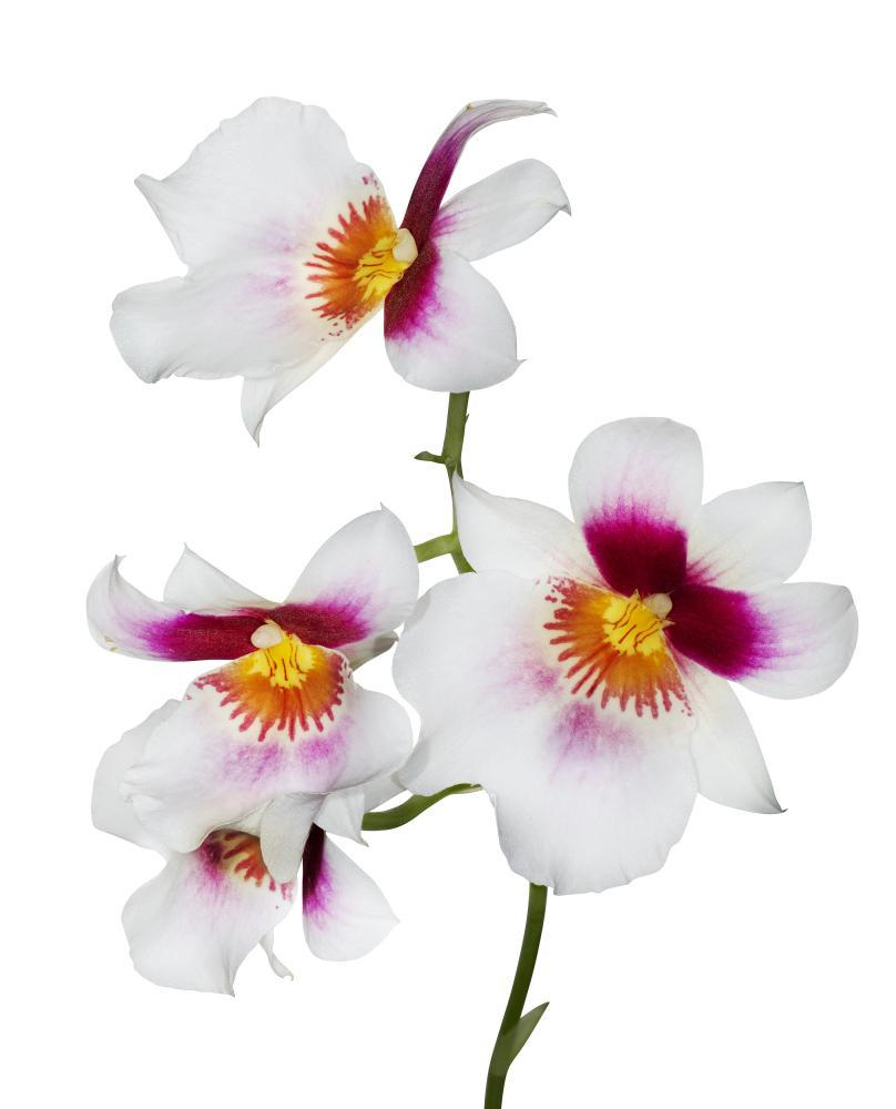 Four White Orchid Flowers Flower Wall Mural Sticker