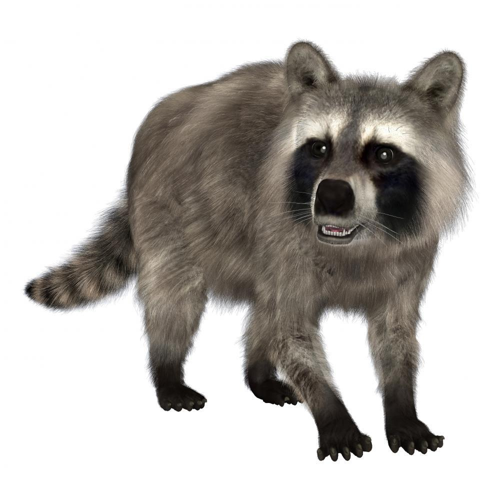 Raccoon Animal Wall Sticker