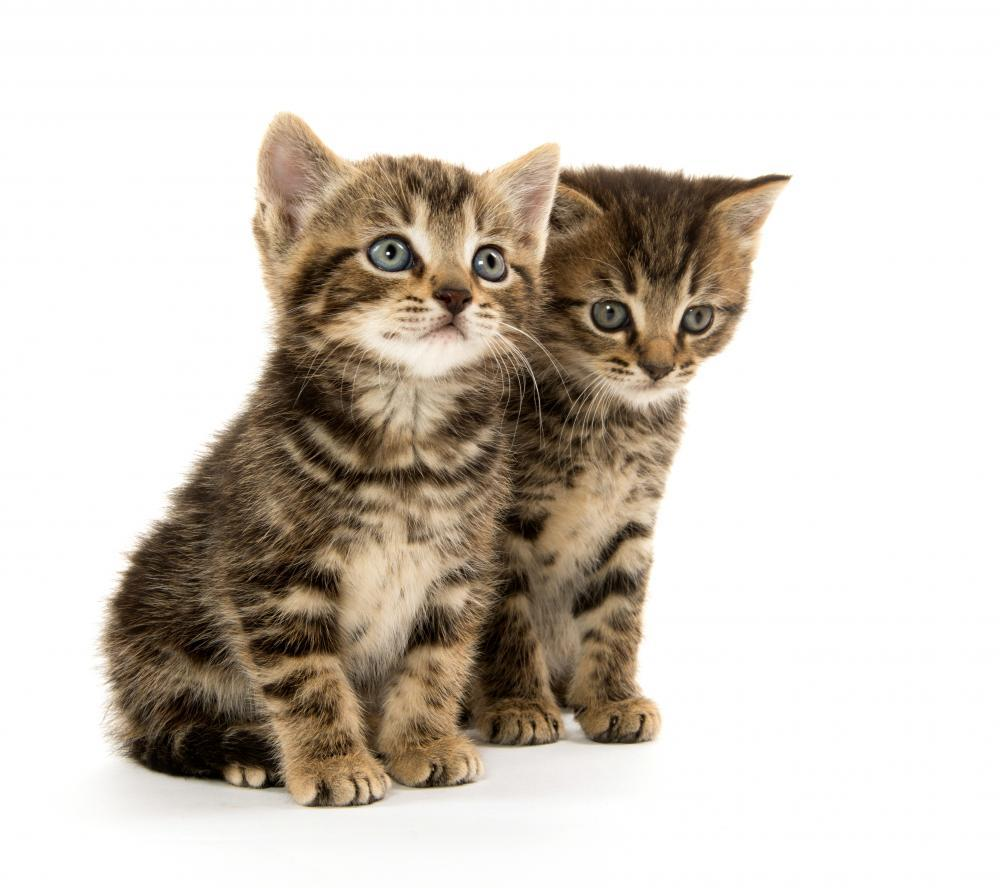Two Tabby Kittens Animal Wall Sticker