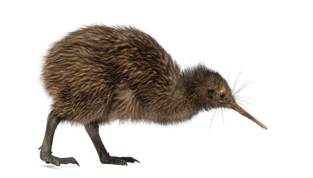 Kiwi Bird Animal Wall Sticker