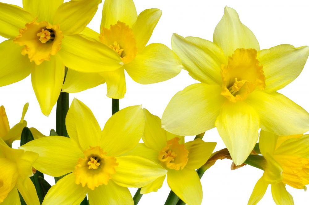 Daffodils Flower Wall Mural Sticker - Flower-Wall-Stickers - Decall.ca