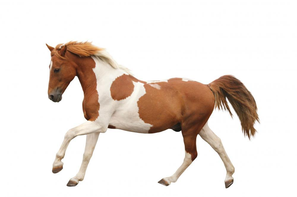 Skewbald Pony Galloping White Wall Sticker
