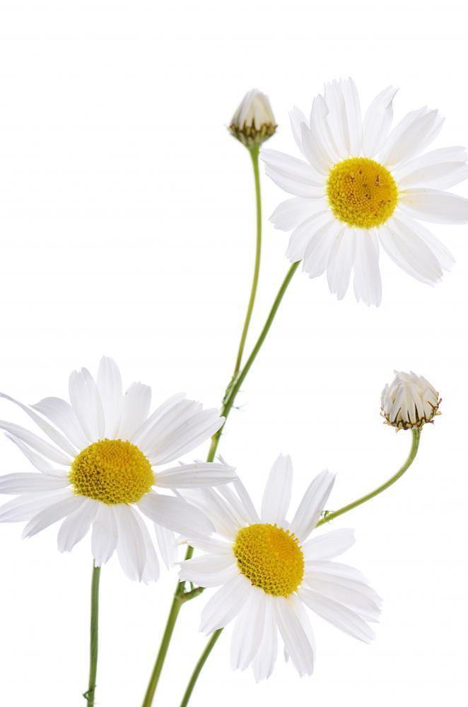 Beautiful Daisy White Flower Wall Mural Sticker - Flower-Wall-Stickers - Decall.ca