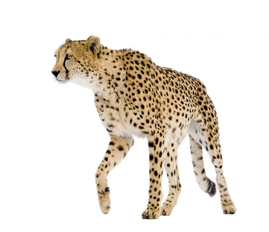 Cheetah Acinonyx Jubatus Front Animal Wall Mural - Animal-Wall-Stickers - Decall.ca