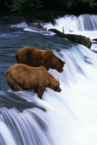 Brown Bears Fishing Brooks Animal Wall Mural - Animal-Wall-Murals - Decall.ca