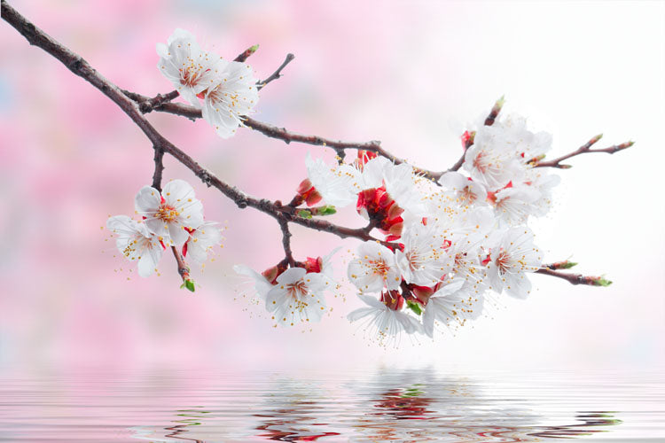 Cherry Blossom On Water Flower Wall Mural - Flower-Wall-Murals - Decall.ca