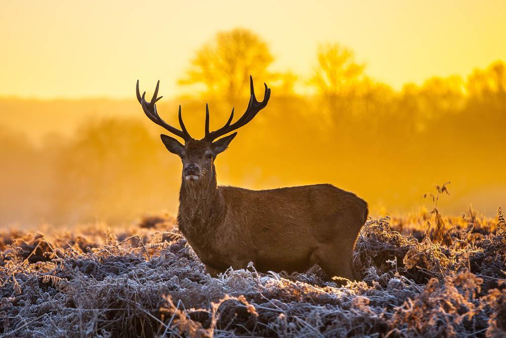 Red Deer Morning Sun Animal Wall Mural
