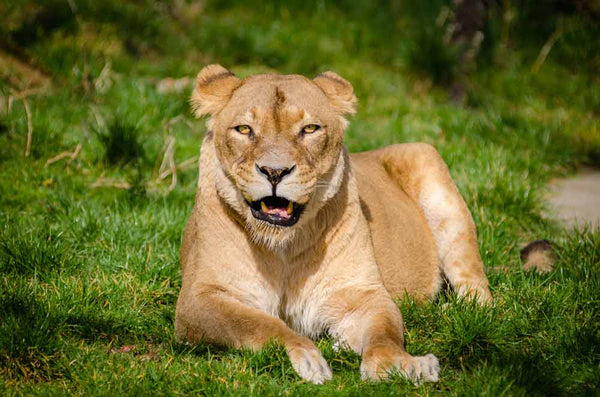 Lion Lying on Grass during Daytime Wall Mural - Wall-Murals - Decall.ca