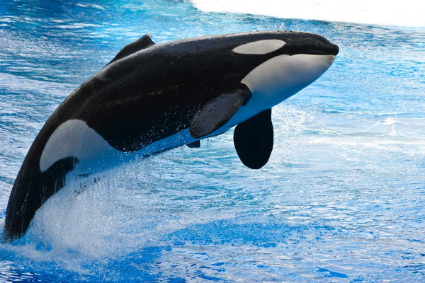 Jumping Killer Whale Wall Mural - Wall-Murals - Decall.ca