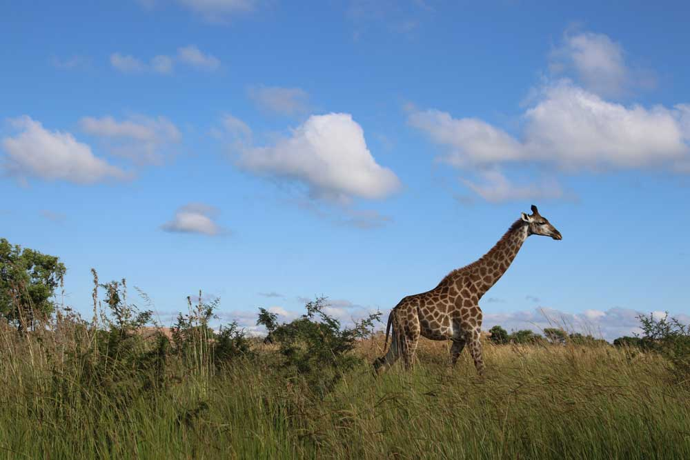 Giraffe Walking Through The Grasslands Wall Mural - Wall-Murals - Decall.ca