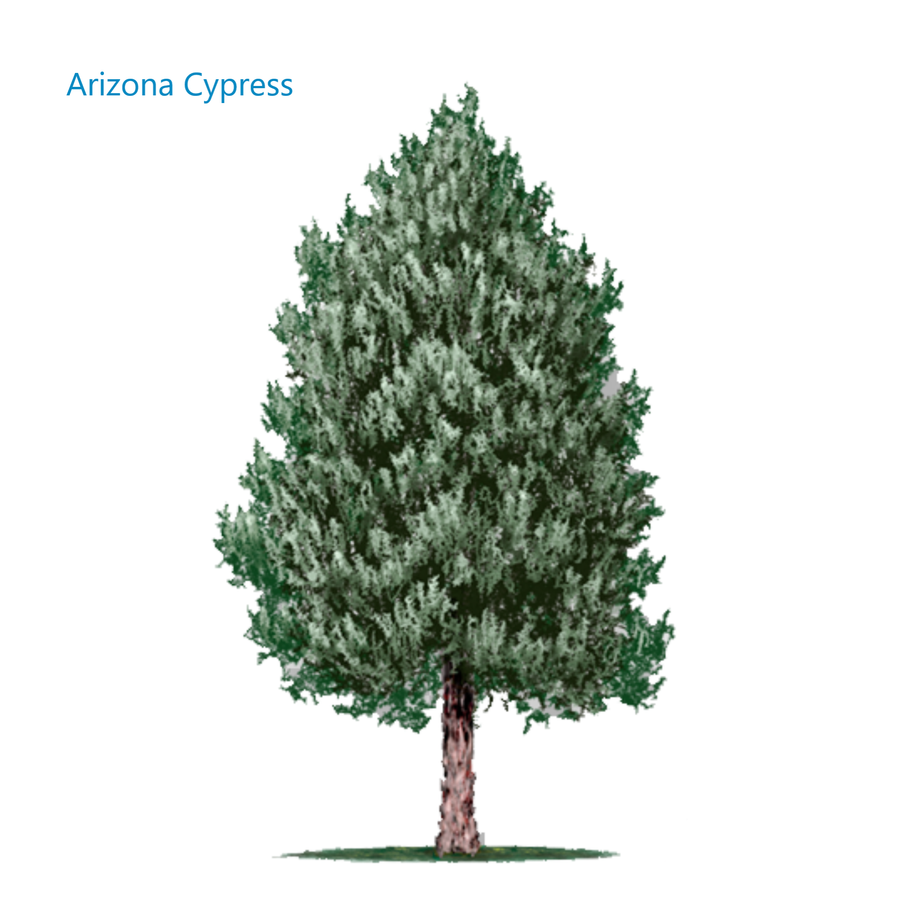 Memorial tree Arizona Cypress
