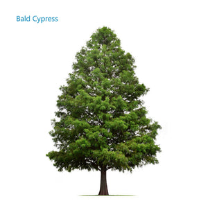 Memorial tree Bald Cypress