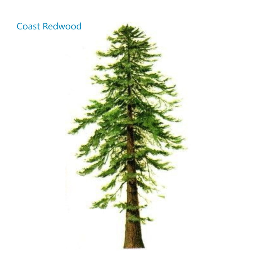 Memorial tree Coast Redwood