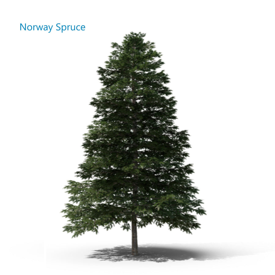 Memorial tree Norway Spruce