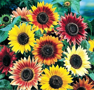 Sunflower beauty for Leo Season
