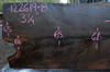 Oregon Black Walnut Slab 122619-08