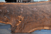 Oregon Black Walnut 082118-01