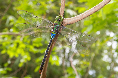 dragon fly on branch