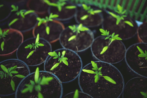 sprout plants