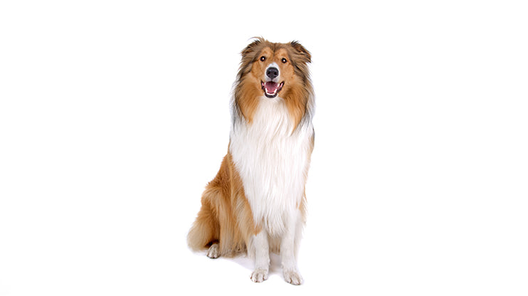 Collie for kids