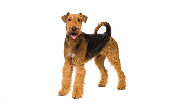 Airedale for children