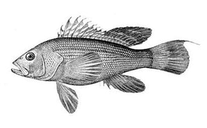 Black Sea Bass - Fresh Fish
