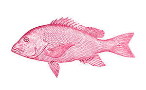 Buy fresh American Red Snapper
