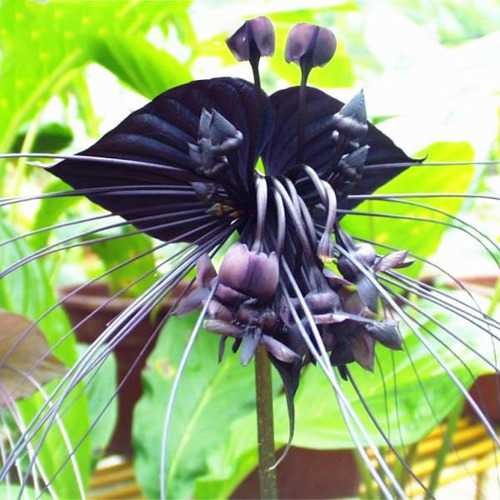 Egrow 100pcs/Bag Black Tiger Shall Orchid Seeds Multiple Varieties Orchid Flowers Seeds for Garden - Cozzoo