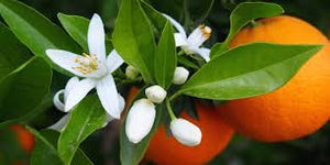 bitter orange blossom neroli photo